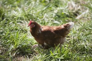 Elmwood_FreeRangeHen