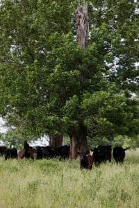 Elmwood Stock Farm cattle