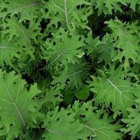 Kale, Baby Leaf