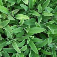 Fresh Herbs, Sage