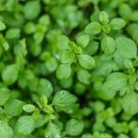 Fresh Herbs, Oregano