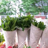 Fresh Herbs, Basil